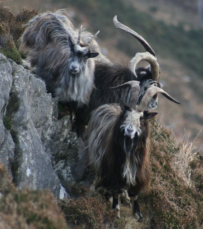 irish_old_goat_society